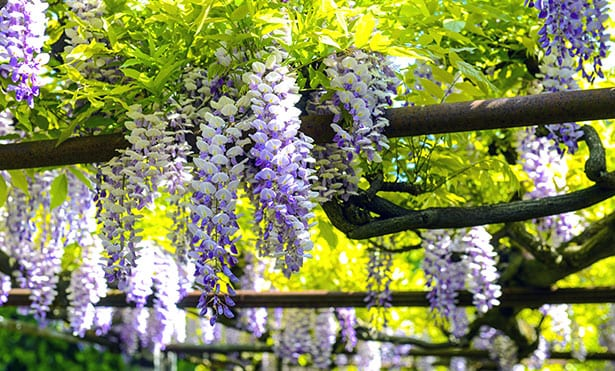 8 Climbing Plants for Your Pergola - 8 Climbing Plants For Your Pergol